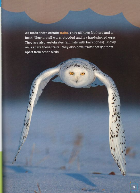 Snowy Owls: Stealthy Hunting Birds ( Comparing Animal Traits )